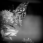 Black and White Butterfly by TraceyR62