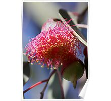 Gumnut Magic (Eucalyptus Blossom) Poster