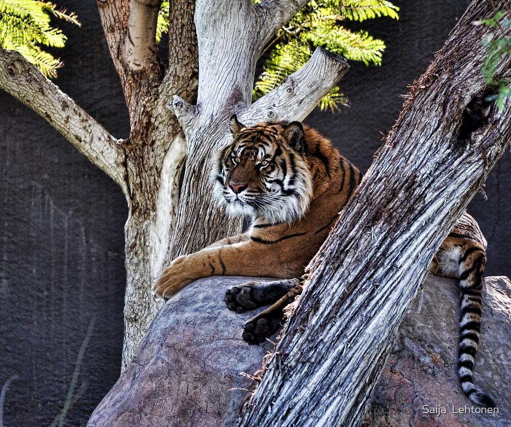 Tiger on a rock  by Saija  Lehtonen