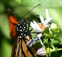 Monarch Muncher by DARRIN ALDRIDGE
