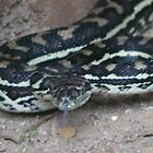 Carpet Python #1 by Virginia McGowan