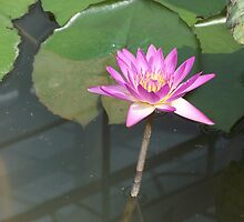 Beautiful Water Lilly by Joseph Green