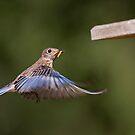 Strange Bluebird Activity by Bonnie T.  Barry