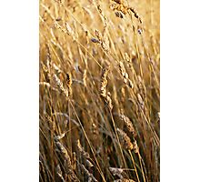 Golden Oats Photographic Print