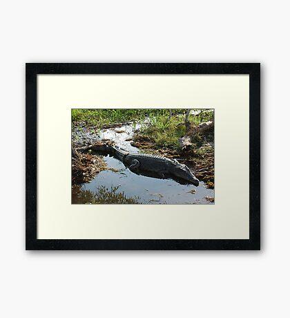 Sunning Saltwater Crocodile Framed Print