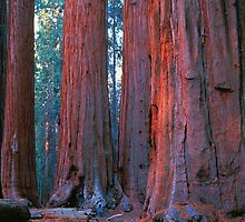 OLDEST AND TALLEST LIVING THINGS ON EARTH by Chuck Wickham
