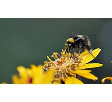 Bumble landing Photographic Print