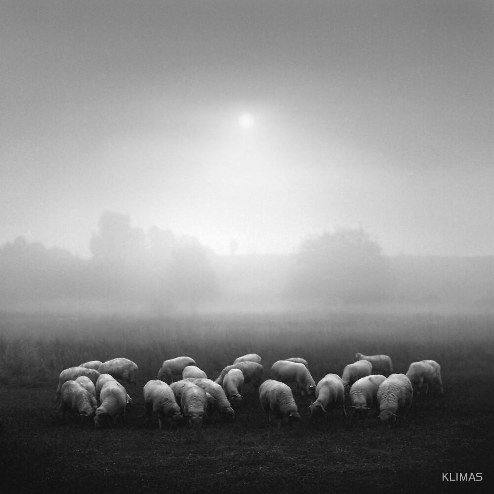 Lambs by KLIMAS