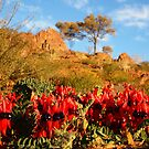 Sturt&#x27;s Desert Pea by Paula McManus