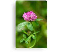 Red Clover Canvas Print