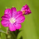 Great Willowherb Flower by M.S. Photography/Art