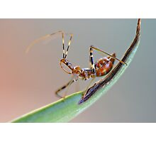 Assassin bug Photographic Print