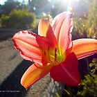 Lilium | Center Moriches, New York by © Sophie W. Smith