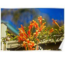 Orange Trumpet flowers Poster