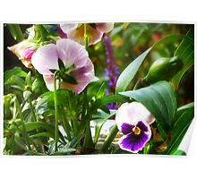 Potted Pansies Poster