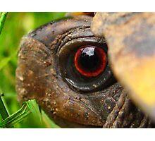 Box Turtle Macro  Photographic Print