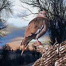 Country Dove by Pat Moore