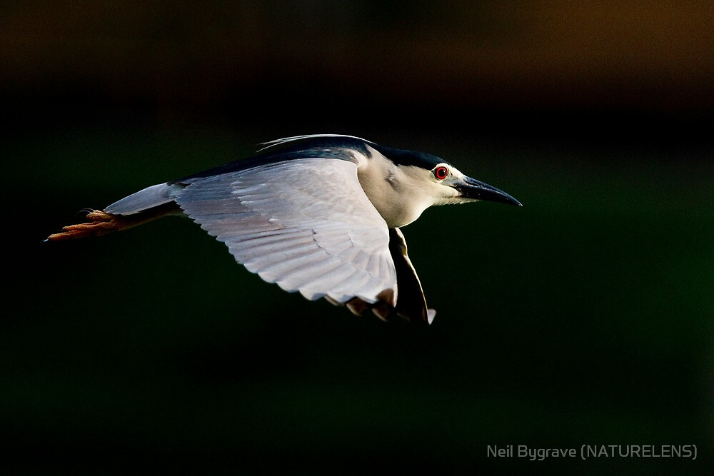 Black-crowned Night Heron by Neil Bygrave (NATURELENS)