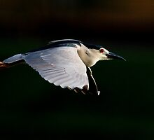 Black-crowned Night Heron by Neil Bygrave (NATURELENS)