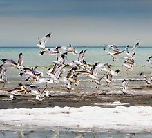 Gulls in Flight by Dave Hare