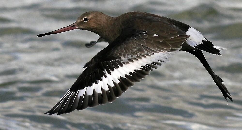 Flight Of The Godwit by snapdecisions