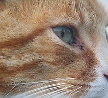 Velcro - Ginger Tabby by lar3ry