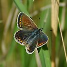 Common blue female by Russell Couch