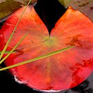 water lily pad by jimandgay