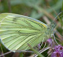 Green veined white by Jon Lees