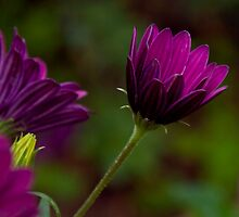 Purple bokeh  by Andrea Rapisarda