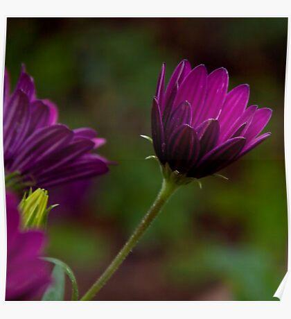 Purple bokeh  Poster