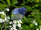 Plumbago Blue Butterfly by Gabrielle  Lees