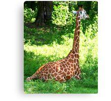 Rothschild's Giraffe Canvas Print