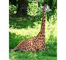 Rothschild's Giraffe Photographic Print