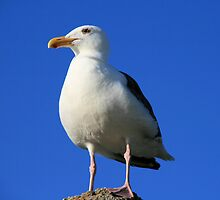 Seagull in deep thought by MarthaBurns