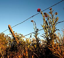 Thistles along a fence by KDPhotos