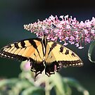 Tiger Swallowtail Butterfly by Joe Elliott