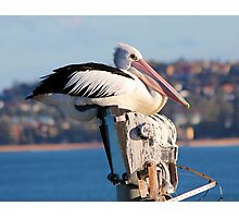 Pelican on the light pole at North Narrabeen Pool Photographic Print