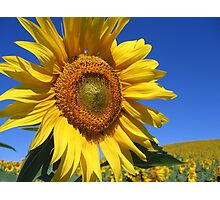 Sunflowers as far as the eye could see... Photographic Print