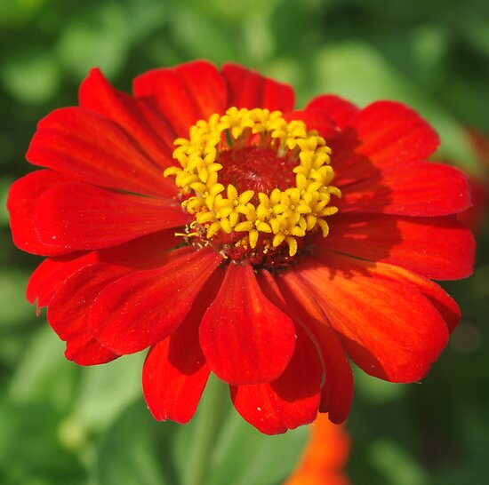 Red Zinnia by Rainy