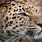 Amur Leopard by Nick Tsiatinis