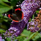 Red Admiral II by Studio95