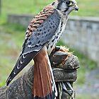 Sparrow hawk... retrieved. by StitchingDreams