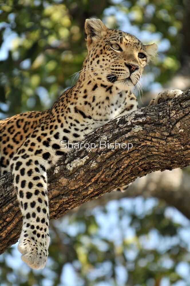 Leopard in repose - Okavango Delta, Botswana. by Sharon Bishop