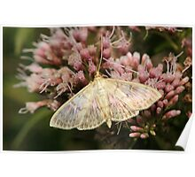 Mother Of Pearl Moth Poster