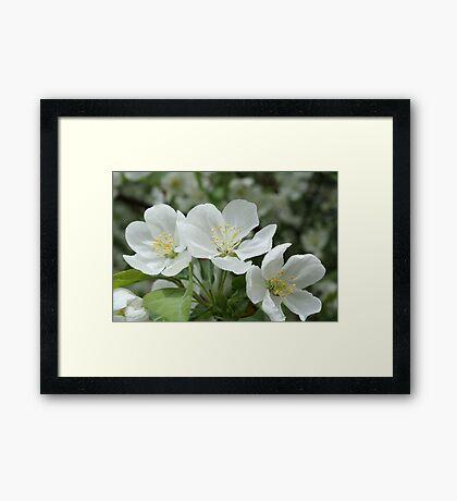 Dogwood Flowers Framed Print