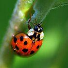 Ladybug by piecesofnature