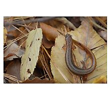 Two Lined Salamander Photographic Print