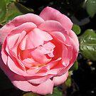 Pink Rose Birthday card by sarnia2
