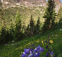 Columbine - Indian Peaks Wilderness by Teresa Smith